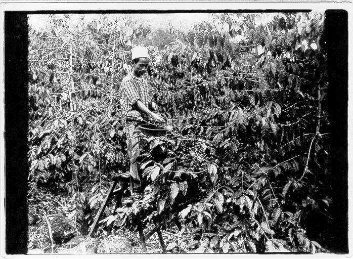 Historic photo of a coffee picker in Kona, Hawaii.